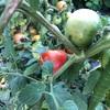 市民菜園で野菜づくりに挑戦!17 〜トマト近況