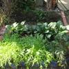 【家庭菜園】ほうれん草を間引きしました。