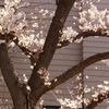 2018-03-25(日)荒川放水路沿いの桜を追って76.01km Part 1/5
