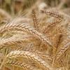 明日から 小麦製品を止めてみます