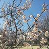 牧の原公園で梅の花鑑賞&ソリ遊びを楽しみました
