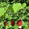 チロリアンランプの花