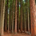 レッドウッド森林公園(The Redwoods Whakarewarewa Forest)~セコイアの森を暫しの森林浴