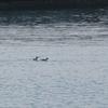 今年はツイテルかも。初見初撮りの鳥さんが3種も。ウミスズメ、マヒワ、アメリカビロードキンクロ