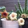 フェルニアの花