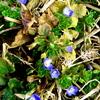 ジョギング中に見つけた小さな春、オオイヌノフグリが開花を始めた。