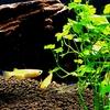 初めての熱帯魚(5)悲劇は続く・・・!