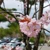 旭山公園の桜を見てきた!