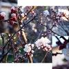 我が家の梅が咲き始めました.果実の実用性は花の美しさに優る?  梅(2 )/ 万葉集 ももしきの,おほみやひとは,いとまあれや,うめを かざして,ここに つどへる 作者不詳