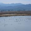 冬鳥の飛来地を訪ねて2 新潟県福島潟2