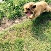 【日本で珍しい犬種】ケアーンテリアとは?しつけ・価格相場・子犬選び方について