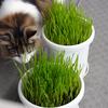 O次郎 猫草はじめました