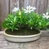 【幸せオーラ満開】クチナシの盆栽