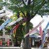 氷川神社鯉のぼりの伝統 守り継ぐ 約50匹遊泳 「日本を元気に」9日まで掲揚!