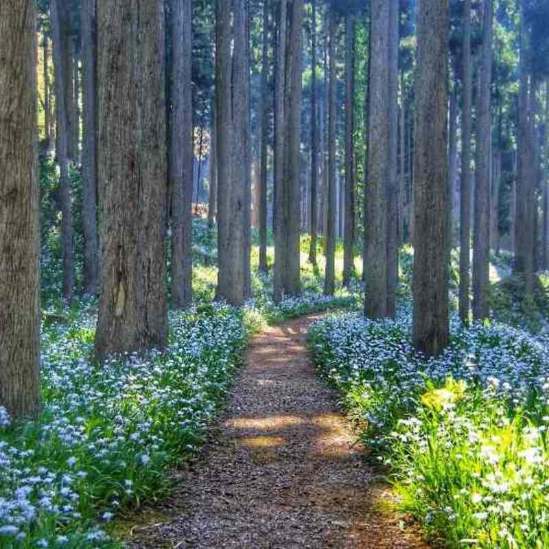 【2021】綾部の森の中にある神秘の花園〜ミツマタとシャガ群生地 〜