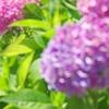 江ノ電 湘南の紫陽花