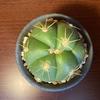 ペンタカンサと花鏡丸の鉢増し