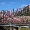 約5000本の花桃が楽しめる名所!阿智村「月川温泉郷 花桃の里」