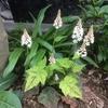 ティアレラ シルベラードの開花、白い小花が美しい