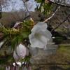 いい匂いのさくら 太白(たいはく)新宿御苑 sakura1202