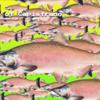 資本主義の鮭
