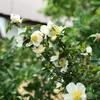 山茶花の日陰に咲ける白と桃(あ)