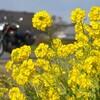 ■房総半島菜の花ツーリング:房総半島、鴨川、小湊鉄道