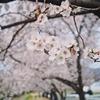 【さ〜く〜らあ♪♪♪】今さらながら、2019年の桜をどうぞ  2019/05/21