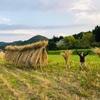 なんとかやり切ったライ麦の刈り取り。