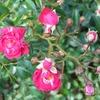 公園のバラ3