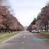 新ひだか町静内にある、二十間道路桜並木に行ってみました。