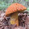 秋の天然きのこ始まり 『アカヤマドリ』