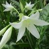 「まつこの庭」の夏の花(1)