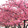 会社の近所の公園の河津桜が満開です!