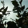植物の光と陰と美空ひばりさんと