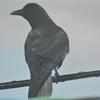 窓ガラス越し間近に見えた大きな鳥は、「ハシボソガラス」か!(>_<)