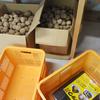 ジャガイモの保存方法に四苦八苦する