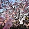 日暮里🌸護国山天王寺と谷中霊園🌸満開です!