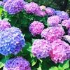 これからが見ごろ*【権現堂】紫陽花祭りに行ってみました(ㆁᴗㆁ✿)