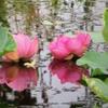 余市で蓮を観る&桃とチキンと温泉満喫♡