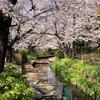 桜/2021 二ヶ領用水から多摩川へ(1)