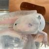 ウーパールーパーの目が白濁!対処法と回復過程