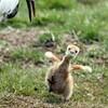 釧路市自然公園 ツルのヒナ誕生