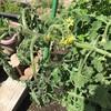 #4 夏野菜'19 大雨後にミニトマトの葉がしおれる