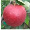 紅ロマンは奥州藤原三代の食料基地、江刺で誕生