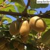 #18 キウイフルーツ 実が順調に膨らんでいます