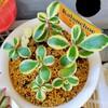 🌵多肉植物   綺麗な斑入りのファリナセア錦  他🌵