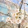 少しだけ桜を見てきました