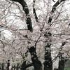 桜が好き。さくらのさは神さまの意味。