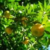 今年も柚が豊作です